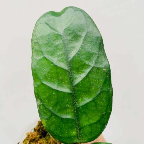 Hoya villosa cost